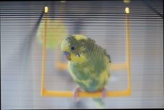 Potomstwa Budgeigar papuga siedzi na papuziej ` s huśtawce i bawić się z zabawkarską piłką zawieszającą zdjęcia royalty free