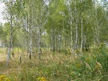 Potomstwa cienieją brzozy w brzoza gaju Rosja obraz royalty free