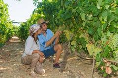 Potomstwa dobierają się, winogradów hodowcy w winnicy, Fotografia Stock