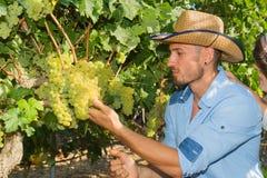 Potomstwa dobierają się, winogradów hodowcy w winnicy, Obraz Royalty Free