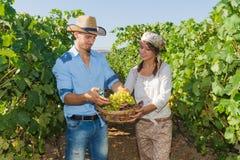 Potomstwa dobierają się, winogradów hodowcy w winnicy, Obrazy Royalty Free