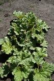 Potomstwa dorośleć rabarbarowe rośliny Fotografia Royalty Free