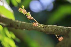 Potomstwa grają główna rolę agresta na gwiazdowym agrestowym drzewie Obrazy Royalty Free