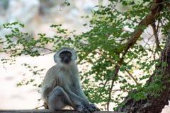 Potomstwa i ciekawa afrykanina Vervet małpa zdjęcie stock