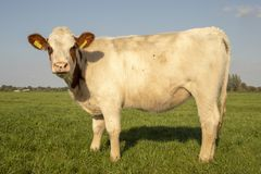Potomstwa, krępa biała krowa z brązów ucho, ostrze trawa w jej usta, widzieć od strony, stojaków w łące i niebieskiego nieba, zdjęcia royalty free