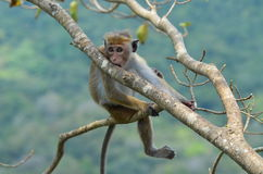 Potomstwa małpują relaksować na drzewie. Zdjęcie Royalty Free