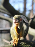 Potomstwa małpują Saimiri sciureus Obrazy Royalty Free