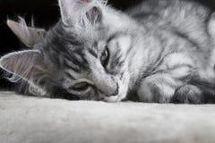 Potomstwa Maine Coon popielaty kot z niebieskimi oczami jest kłamający i pozujący kamera Piękny mały kot patrzeje kamera przed sp Zdjęcie Royalty Free