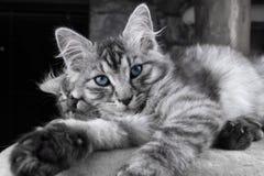 Potomstwa Maine Coon popielaty kot z niebieskimi oczami jest kłamający i pozujący kamera Piękny mały kot patrzeje kamera przed sp Zdjęcie Stock