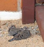 Potomstwa opłakuje gołąbki Zdjęcie Royalty Free