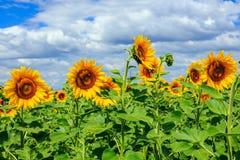Potomstwa pole słoneczniki horyzontalni Zdjęcie Stock