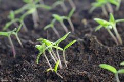 Potomstwa pomidory rozsadowi Obrazy Stock