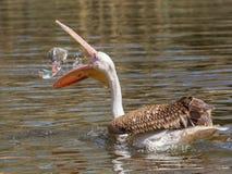 Potomstwa różowią pelikana bawić się fotografia stock