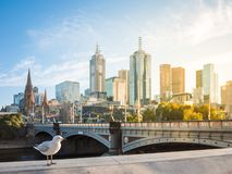 Potomstwa seagull pozycja w ranku świetle słonecznym rzeką przeciw rozmytemu widokowi dziejowy książe Melbourne i mosta ` s h Obrazy Royalty Free