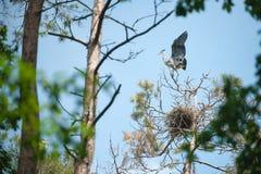 Potomstwa Siwieją Czaplią pozycję na wierzchołku drzewo, falowań skrzydła i próbować latać w górę, obrazy stock