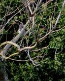 Potomstwa siwieją squirrell w nagich gałąź Zdjęcia Royalty Free