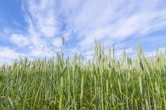 Potomstwa zielenieją żyta. Obraz Stock