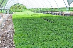 Potomstwa zielenieją chili pieprze, rośliien pepiniery obraz stock