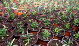 Potomstwa zielenieją goździka, łaciny ` Dianthus imię ` fotografia stock