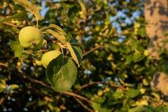 Potomstwa zielenieją jabłka r na drzewie w tle zieleni liście pod ciepłym światłem słonecznym fotografia royalty free