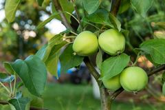 Potomstwa zielenieją jabłka r na drzewie w tle zieleni liście fotografia stock