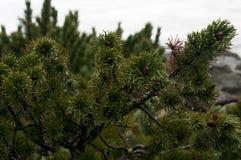 Potomstwa zielenieją jedlin gałąź w górach wysoki Tatras w Zakopane Polska Obrazy Royalty Free