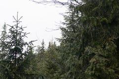 Potomstwa zielenieją jedlin gałąź w górach wysoki Tatras w Zakopane Polska Fotografia Stock