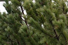 Potomstwa zielenieją jedlin gałąź w górach wysoki Tatras w Zakopane Polska Obraz Royalty Free