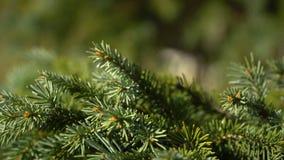 Potomstwa zielenieją jedlinowego gałąź chodzenie w lekkiego wiatru popióle zbliżenie zdjęcie wideo