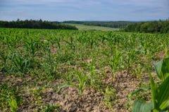 Potomstwa zielenieją kukurydzy pole Narastająca kukurydzana roślina na pogodnym letnim dniu w wsi Sistani Obraz Stock