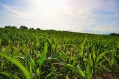 Potomstwa zielenieją kukurydzy pole Narastająca kukurydzana roślina na pogodnym letnim dniu w wsi Sistani Zdjęcie Stock