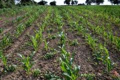 Potomstwa zielenieją kukurydzy pole Narastająca kukurydzana roślina na pogodnym letnim dniu w wsi Sistani Zdjęcia Royalty Free