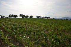 Potomstwa zielenieją kukurydzy pole Narastająca kukurydzana roślina na pogodnym letnim dniu w wsi Sistani Zdjęcie Royalty Free