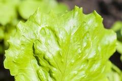 Potomstwa zielenieją liść sałata. obraz royalty free