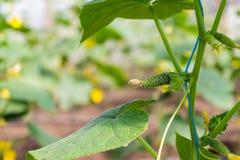 Potomstwa zielenieją ogórki wiesza na gałąź Fotografia Stock