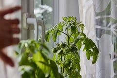 Potomstwa zielenieją pomidory r indoors na windowsill i troskliwej ręce Zdjęcie Stock