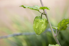 Potomstwa zielenieją przylądka agresta Fotografia Stock