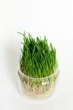 Potomstwa zielenieją pszeniczne flance w szklanym zbiorniku odizolowywającym na whi Obrazy Stock