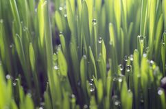 Potomstwa zielenieją pszeniczne traw flance z wodnymi kroplami na słońcu Obraz Stock