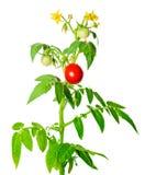 Potomstwa zielenieją rozsady świezi dojrzali czerwoni pomidory owocowi i kwitną Zdjęcie Royalty Free