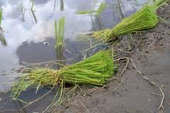 Potomstwa zielenieją ryżu gospodarstwo rolne Zdjęcie Royalty Free