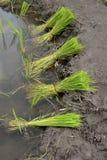 Potomstwa zielenieją ryżu gospodarstwo rolne Fotografia Royalty Free