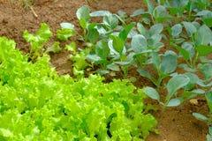Potomstwa zielenieją sałaty i chińczyków brokułów rośliny Fotografia Royalty Free