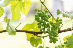 Potomstwa zielenieją winogrona na słonecznym dniu zdjęcie royalty free