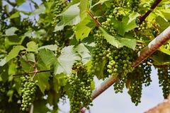 Potomstwa zielenieją winogrona wiesza na gałąź zdjęcie royalty free