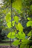 Potomstwa zielenieją wiosna liści tło Obraz Royalty Free