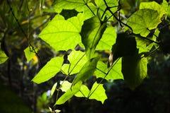 Potomstwa zielenieją wiosna liści tło Zdjęcia Royalty Free
