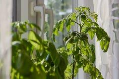 Potomstwa zielenieją pomidory r indoors na windowsill Zdjęcia Royalty Free