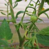 Potomstwa, zielony pomidor obraz stock