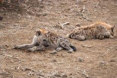 Potomstwo Łaciasta hiena kłaść na ziemi Obraz Royalty Free